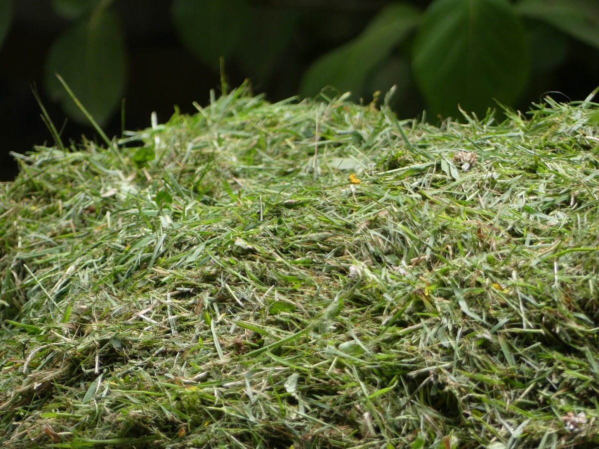 Freshly cut pile of grass clippings.